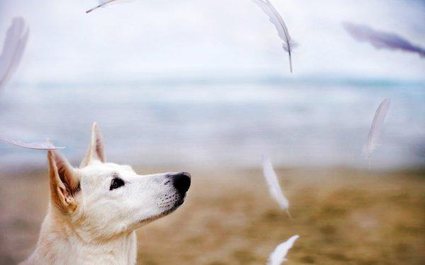 Animal German Shepherd Dogs HD Wallpaper   Background Image