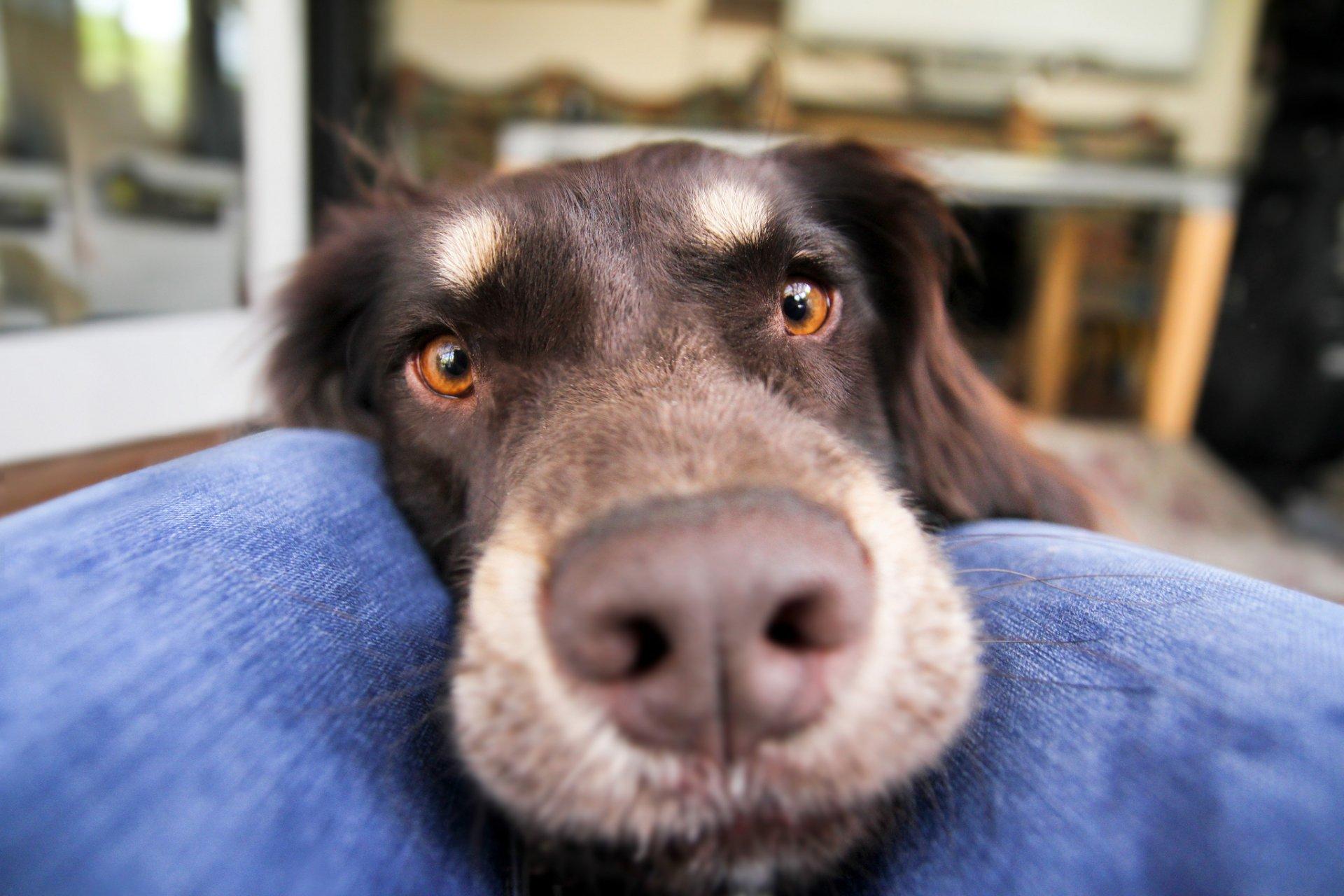 Animal - Australian Shepherd  Close-Up Dog Wallpaper