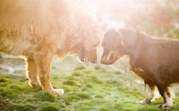 Animal Dog Dogs Australian Shepherd Golden Retriever HD Wallpaper   Background Image