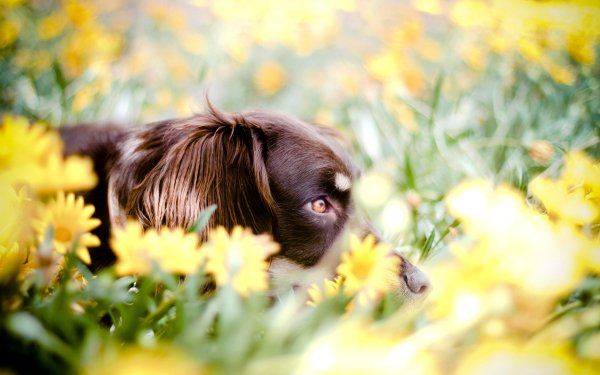 Animal Australian Shepherd Dogs Dog Bokeh HD Wallpaper   Background Image