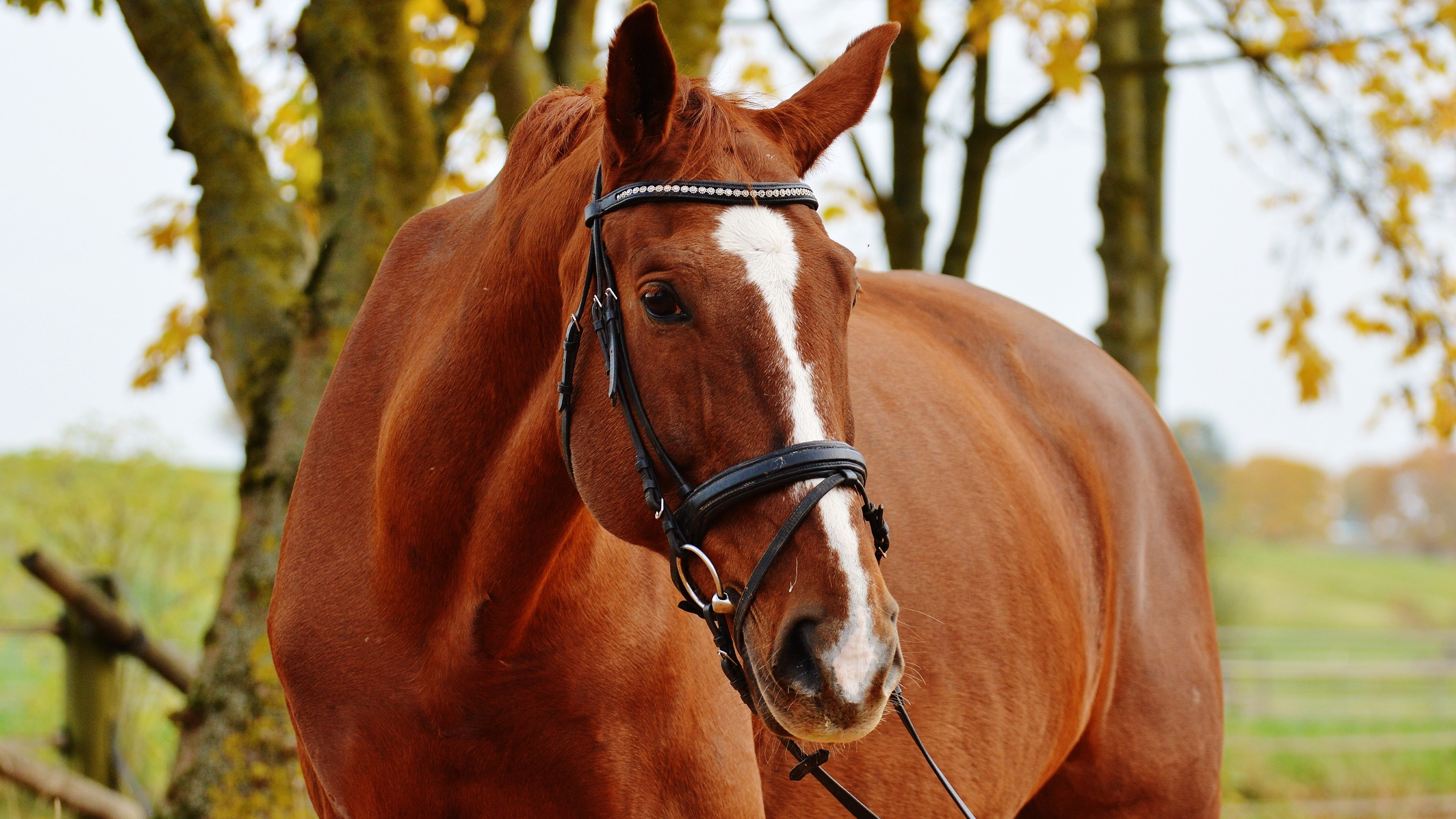 Chestnut horse wallpapers - photo#7
