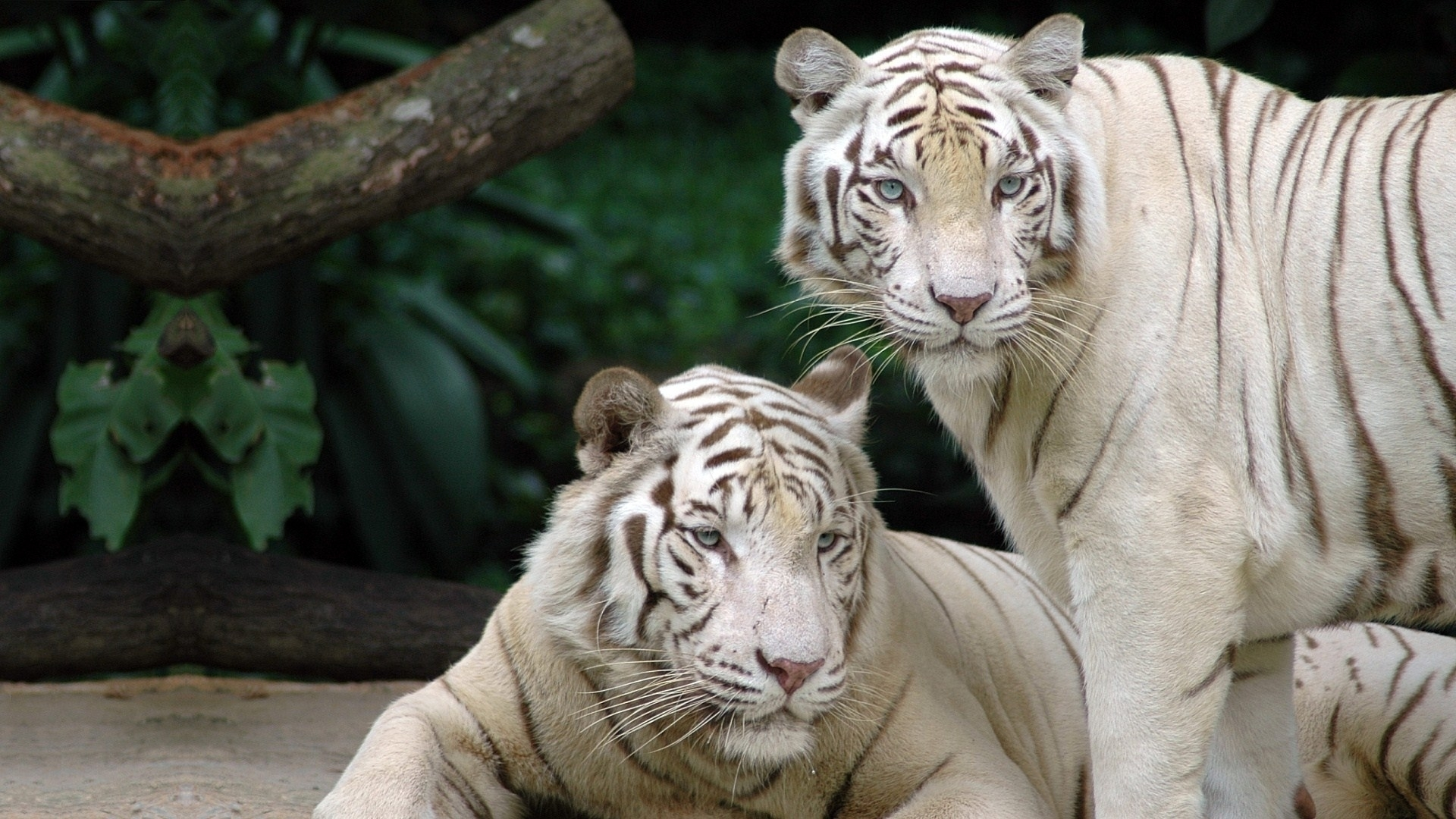 White tiger hd wallpaper background image 1920x1080 id 660987 wallpaper abyss - Tiger hd wallpaper for pc ...