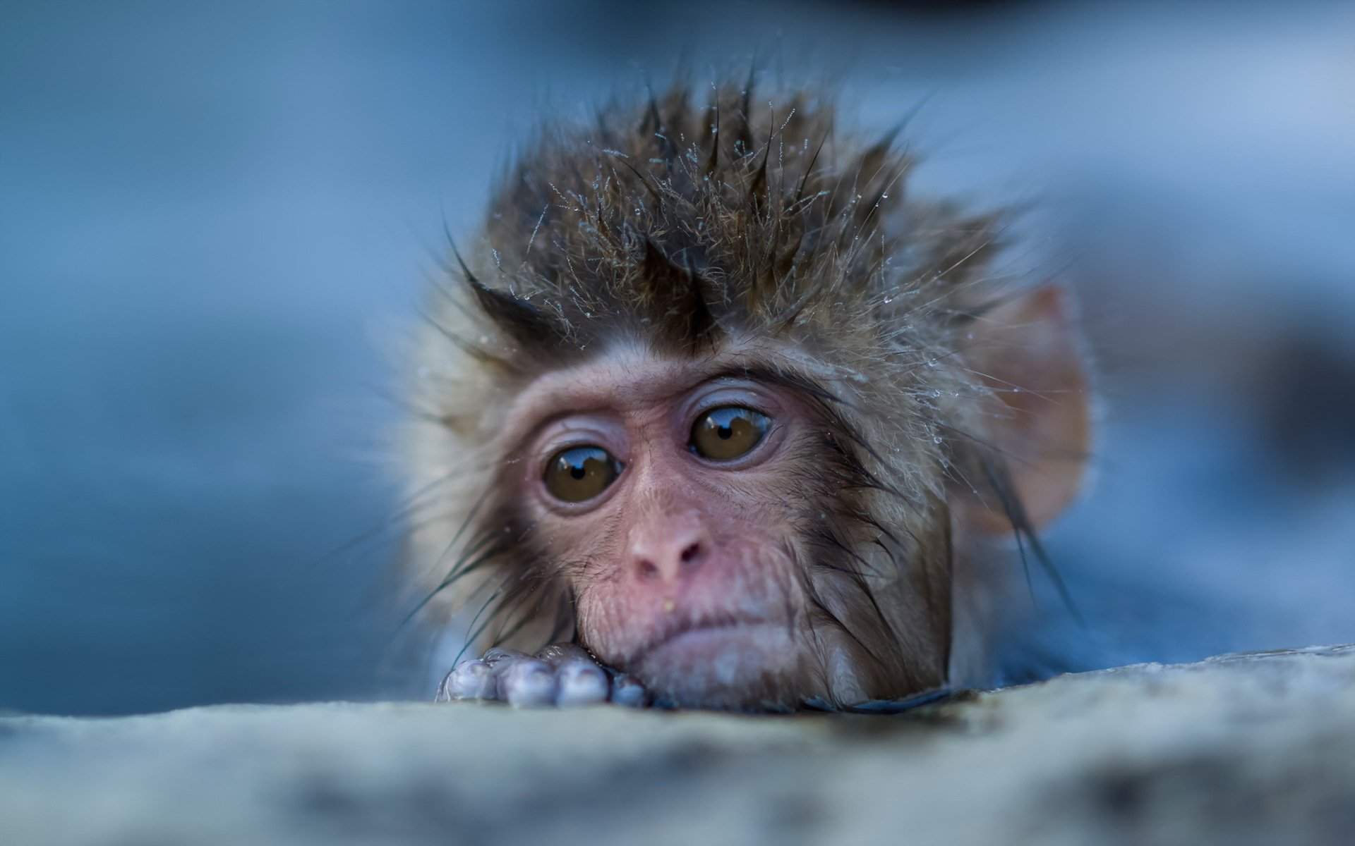 japanese macaque full hd wallpaper and background