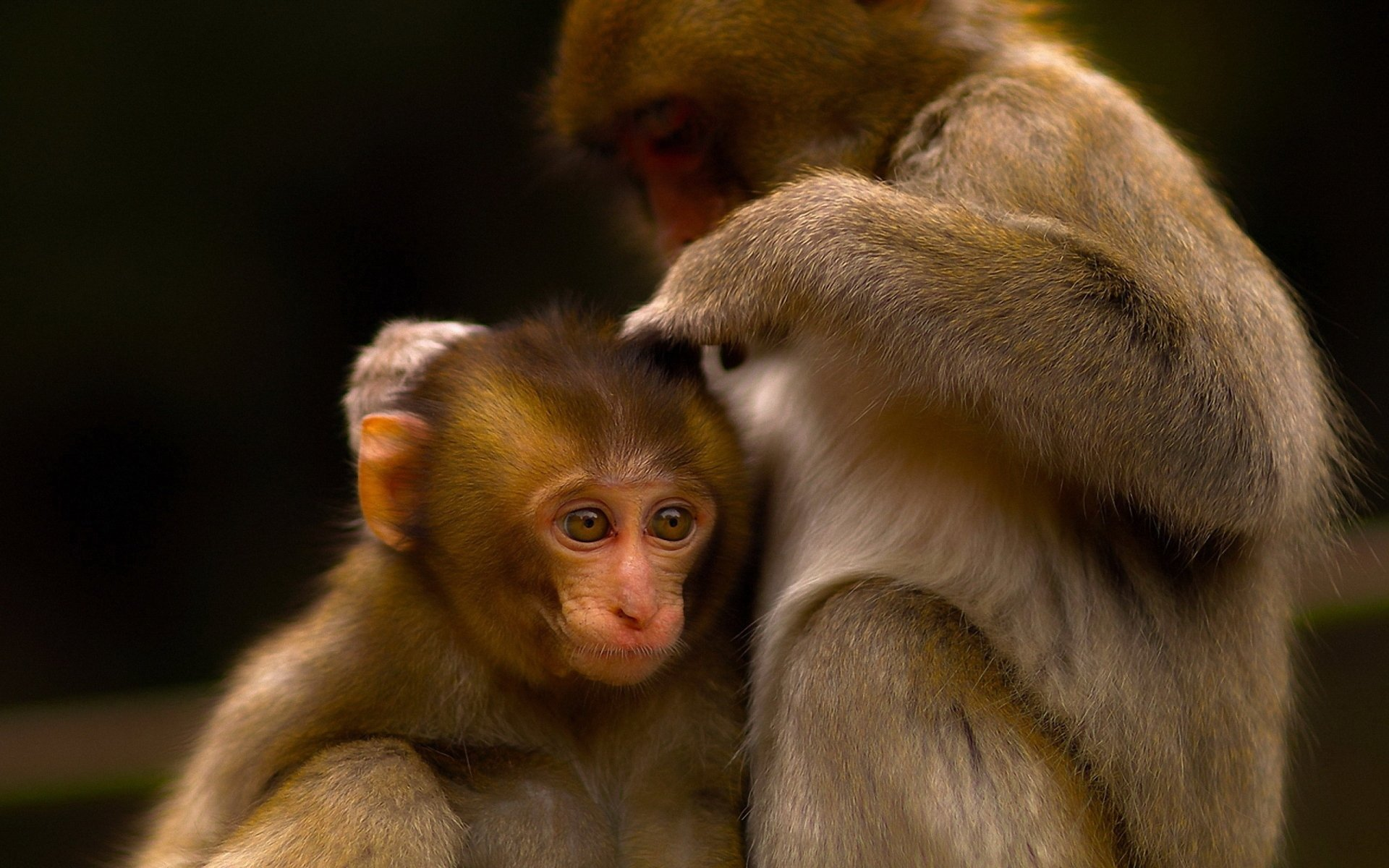 japanese macaque full hd wallpaper and background image