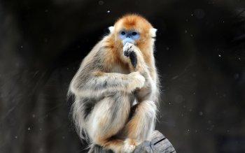 Monkey Wallpaper 16 golden snub-nosed monkey hd wallpapers | backgrounds