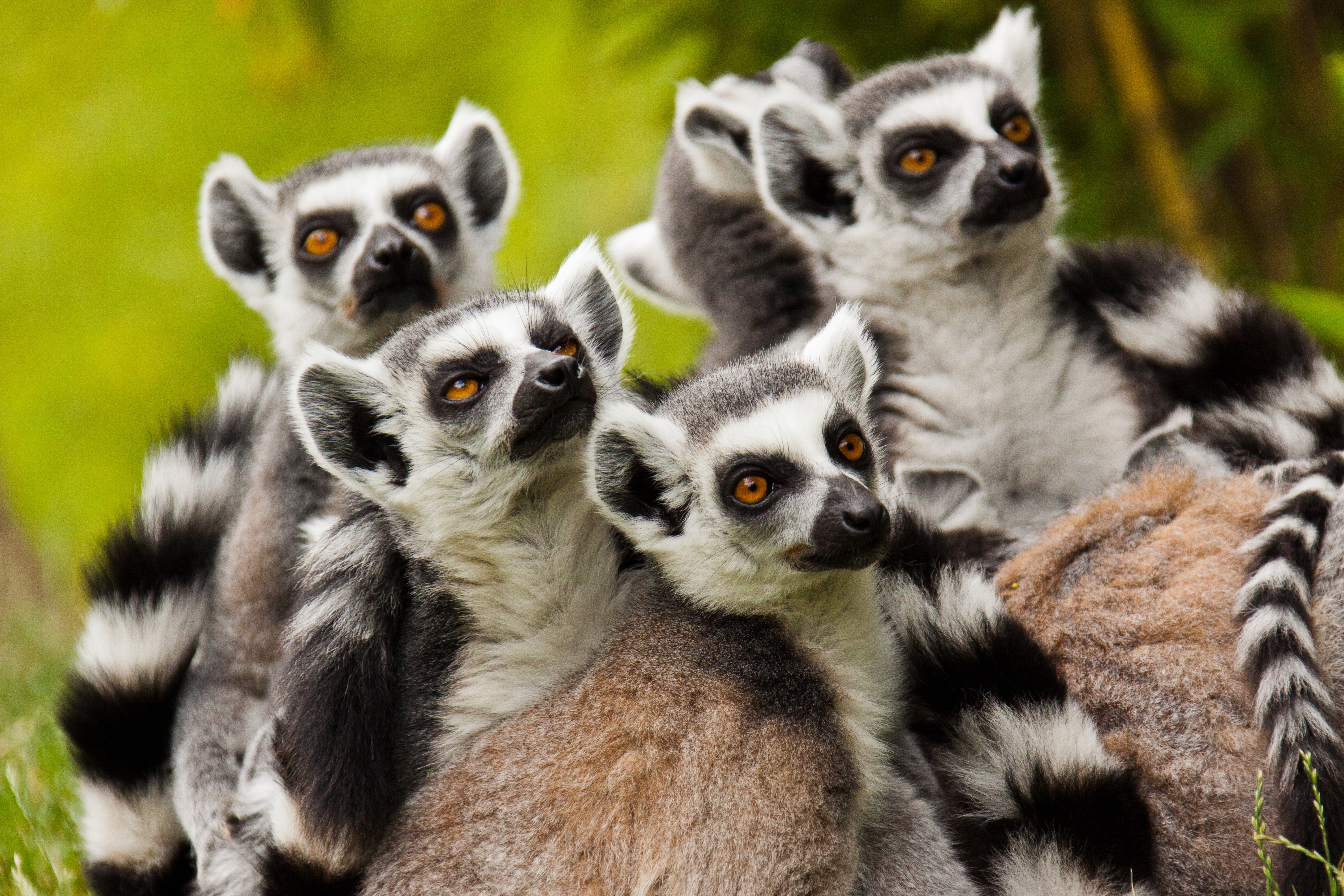 ringtailed lemurs 4k ultra hd wallpaper and background