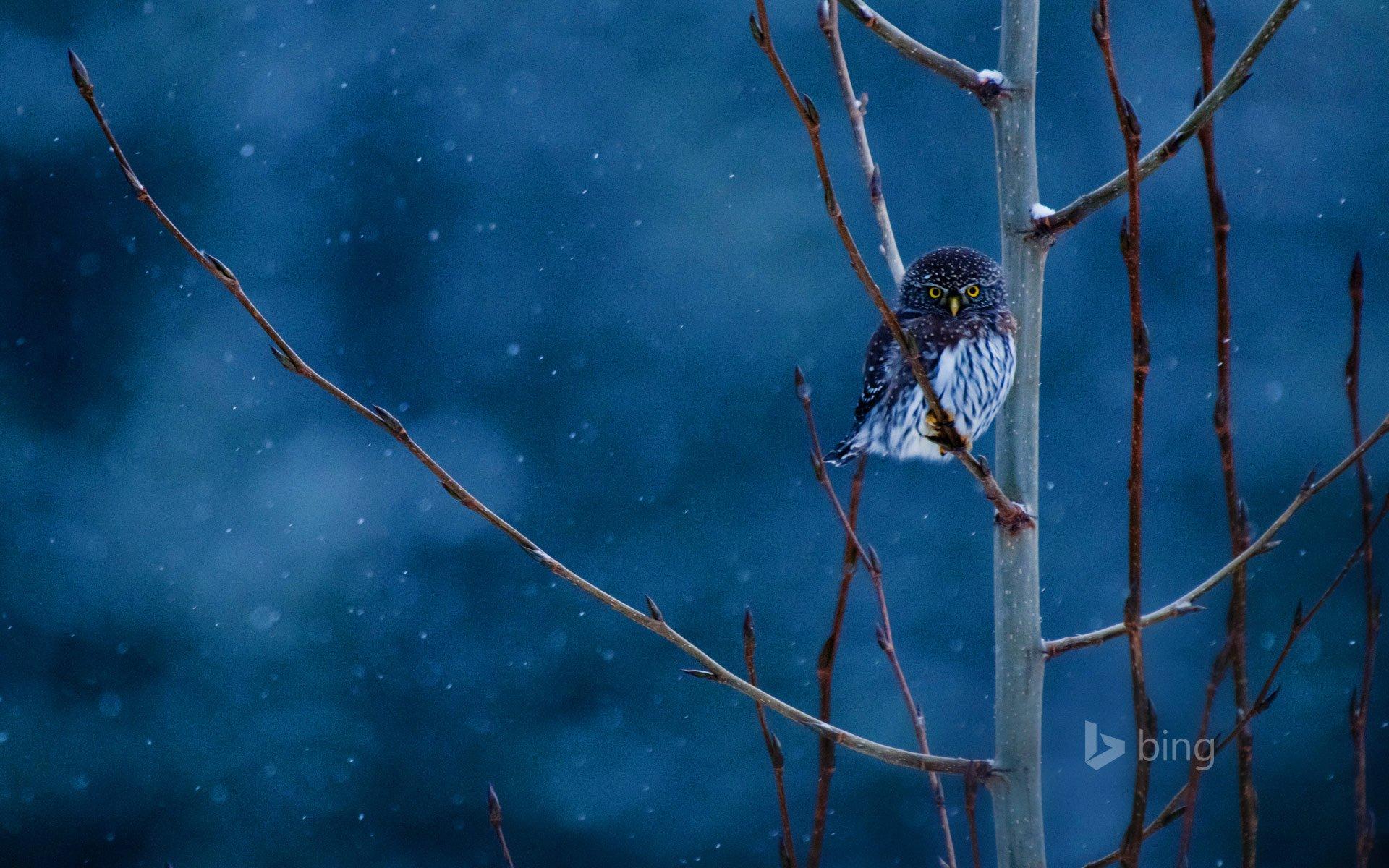 Animal - Owl  Winter Branch Night Blue Snowfall Wallpaper