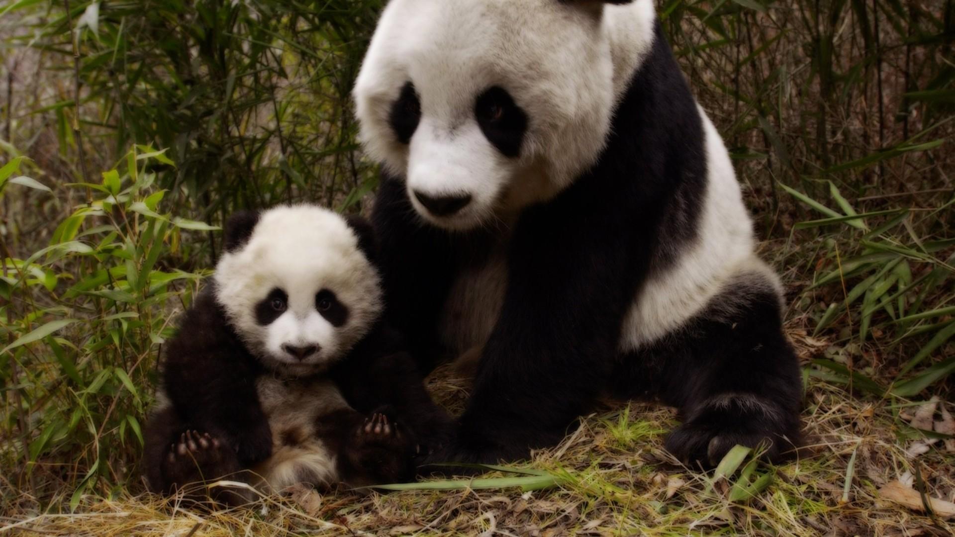 Panda and Her Cub Full HD Fond d'écran and Arrière-Plan   1920x1080   ID:680090
