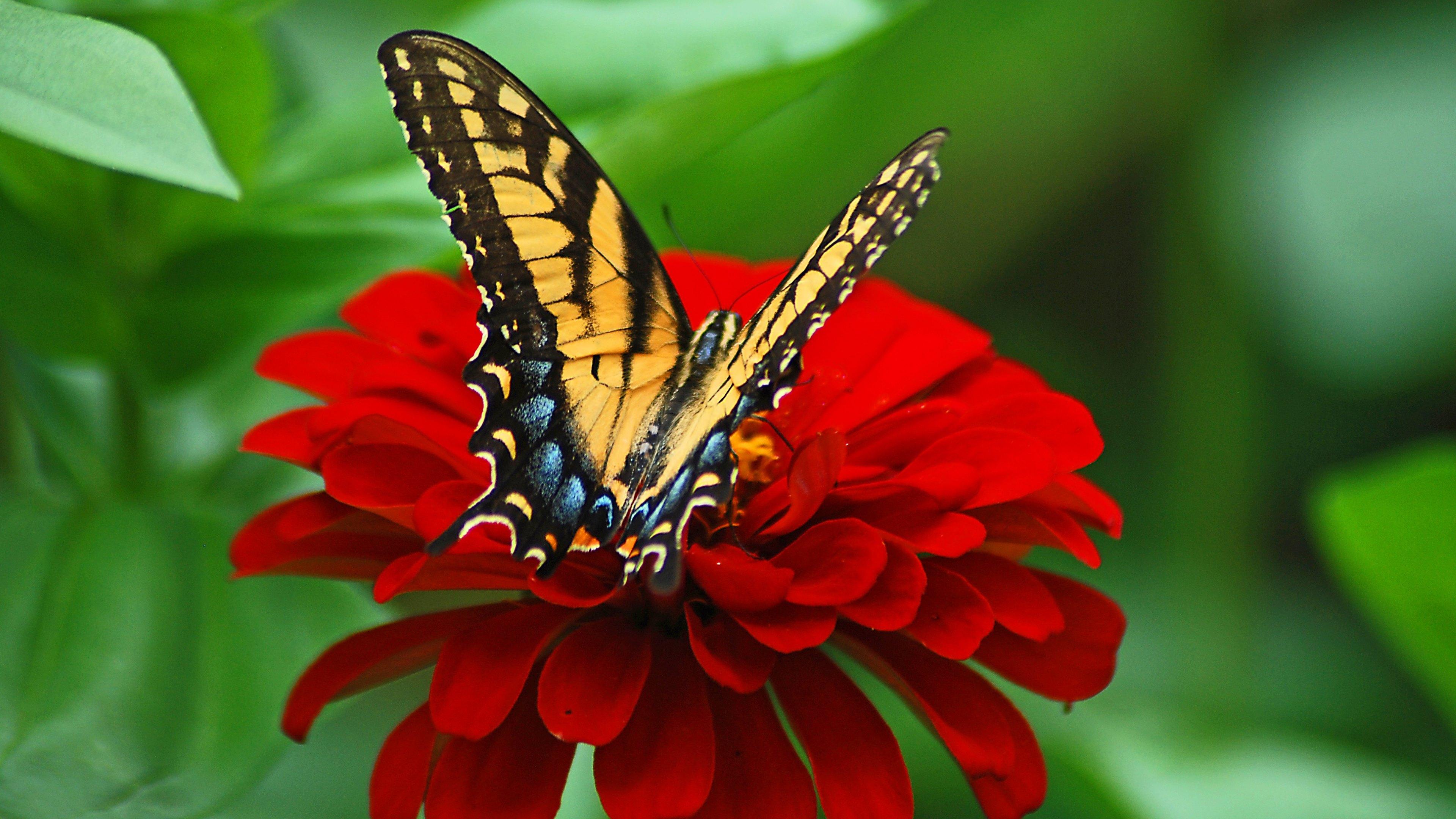Butterfly on Red Flower 4k Ultra HD Wallpaper | Background ...