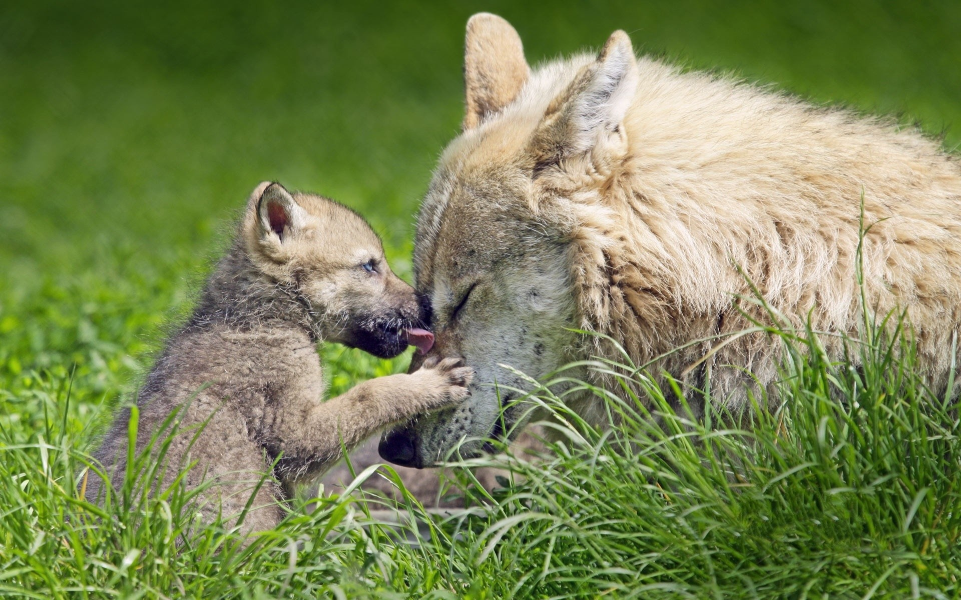 1 Mexican Gray Wolf Hd Wallpapers Background Images