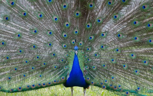 Animaux Paon Oiseaux Oiseau Fond d'écran HD | Arrière-Plan