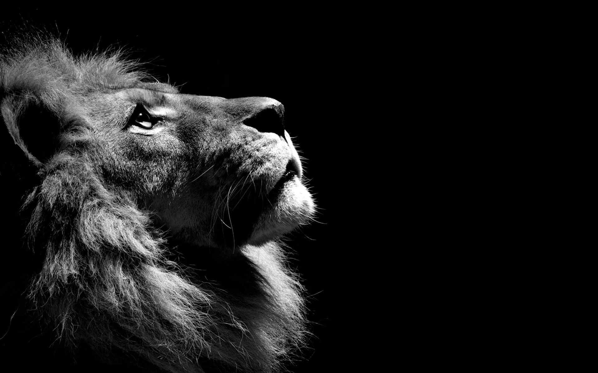 Lion Profile In Black And White HD Wallpaper