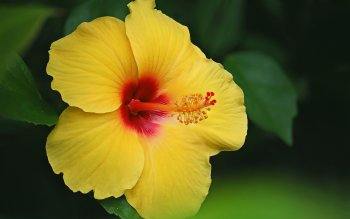 wallpaper: Hibiscus Flowers Wallpapers