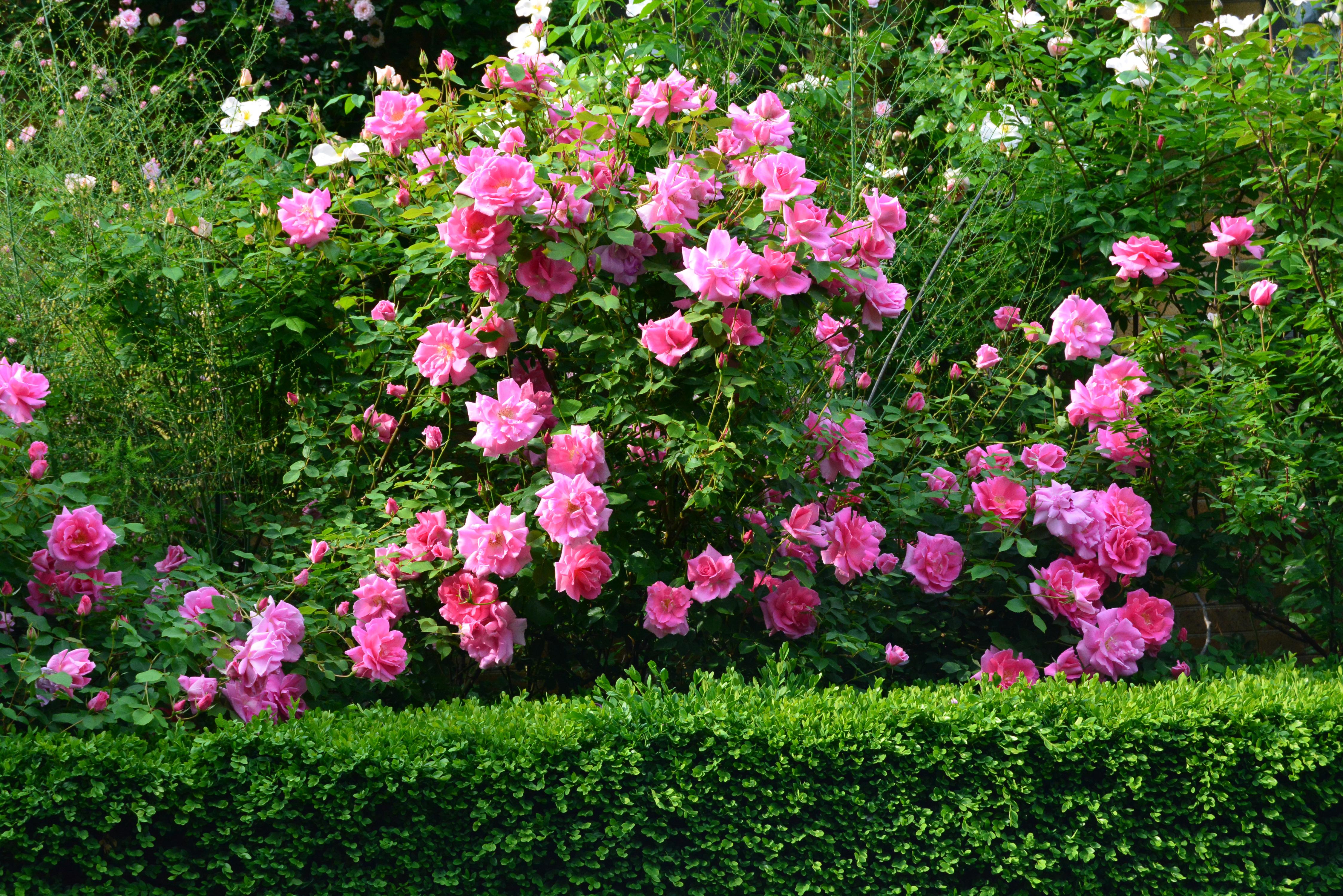 Pink Rose Bush 4k Ultra HD 壁纸 and 背景 | 4496x3000 | ID:691217