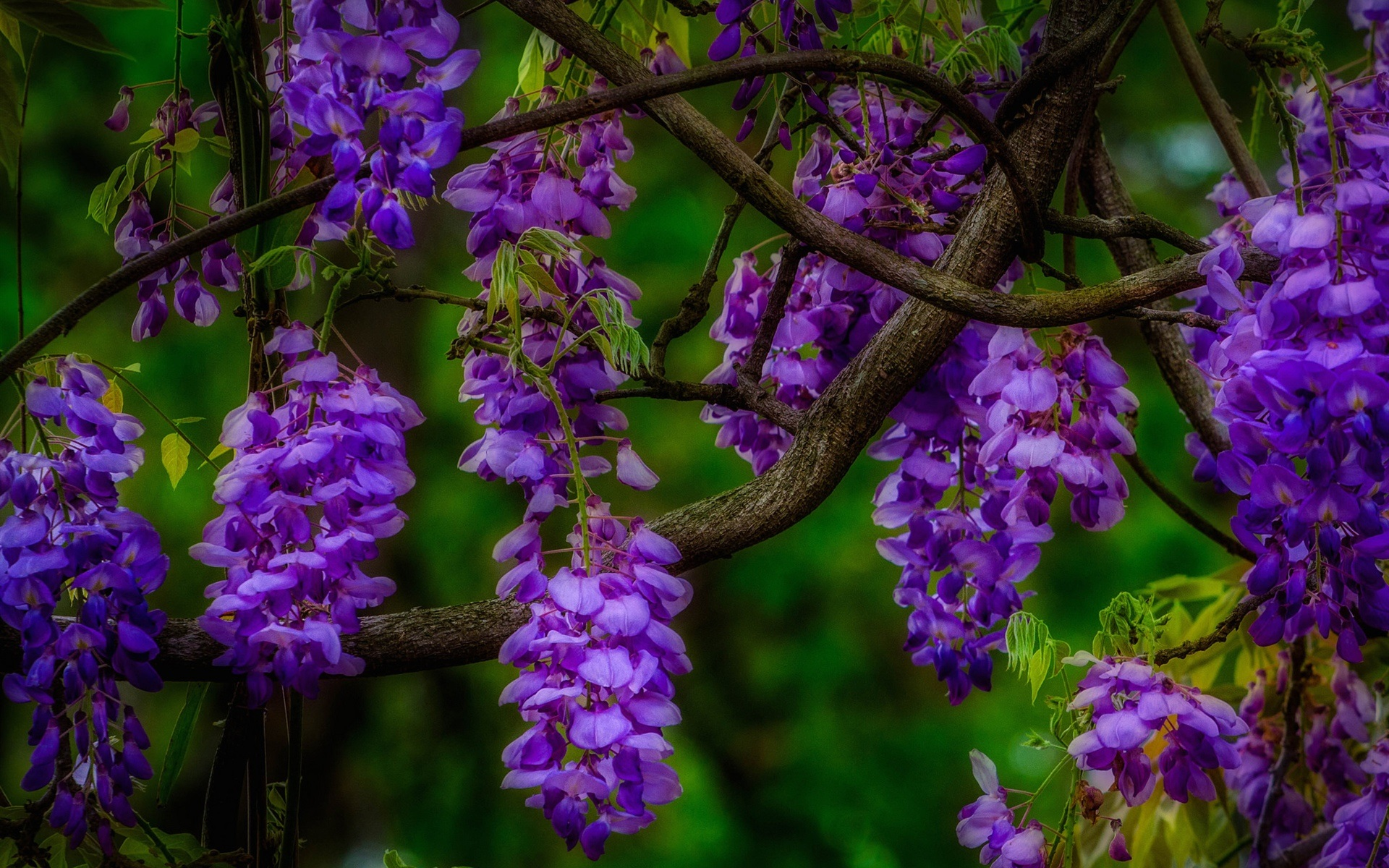 Purple Wisteria Full Hd Wallpaper And Background Image
