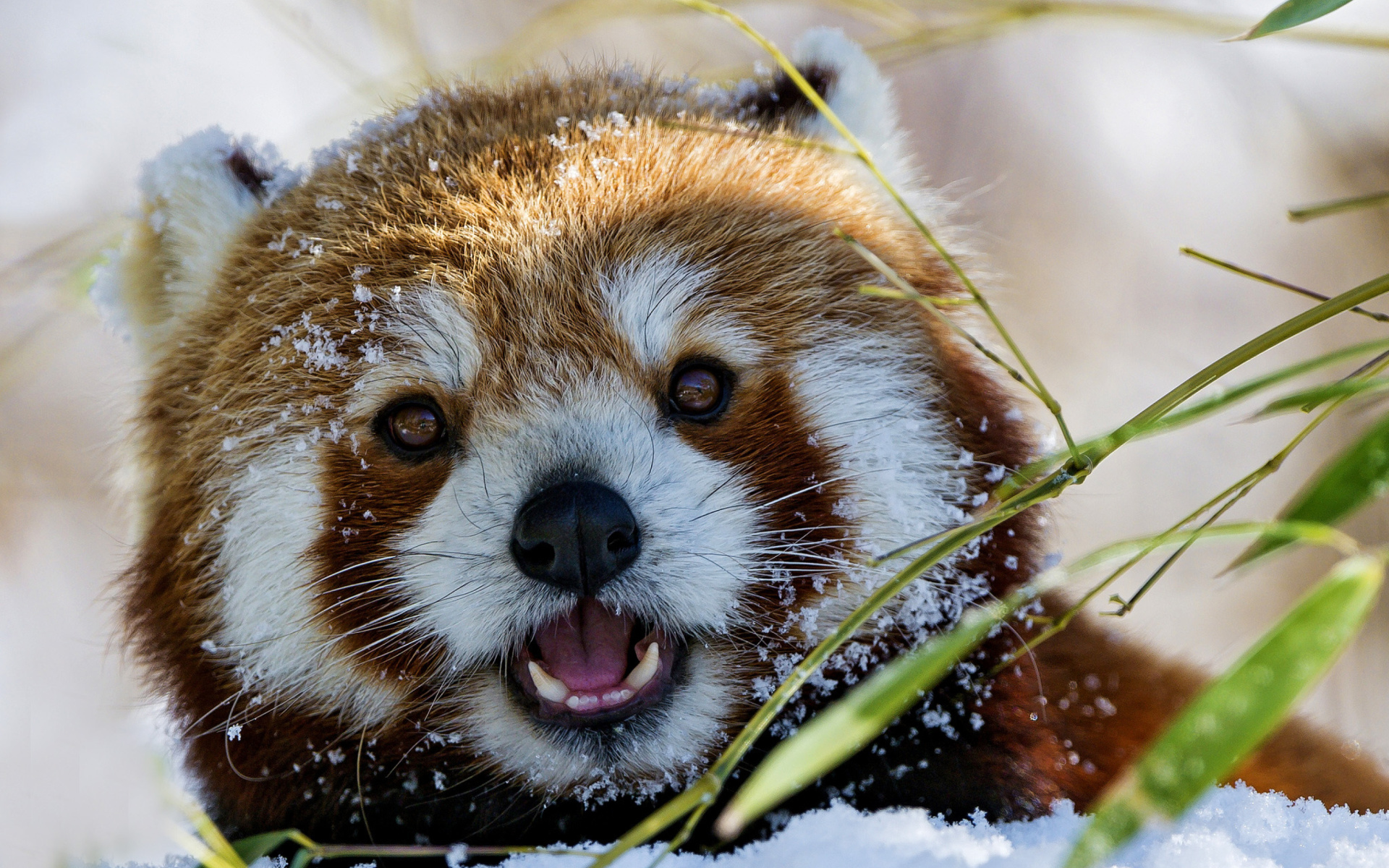 Red Panda HD Wallpaper   Background Image   1920x1200   ID:691783 - Wallpaper Abyss