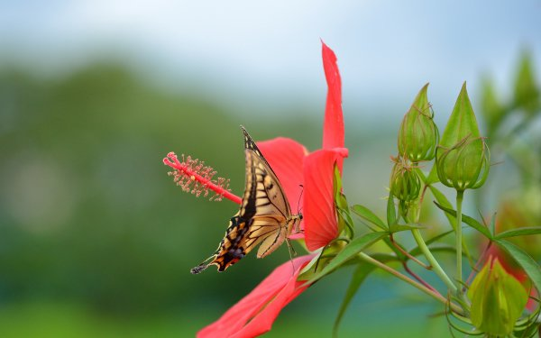 Animal Butterfly Flower Close-Up Blur Red Flower Hibiscus Nature HD Wallpaper   Background Image