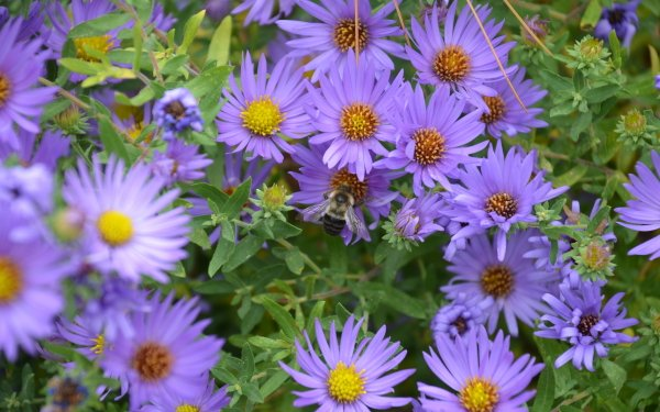 Earth Daisy Flowers Nature Flower Purple Flower Bee HD Wallpaper   Background Image