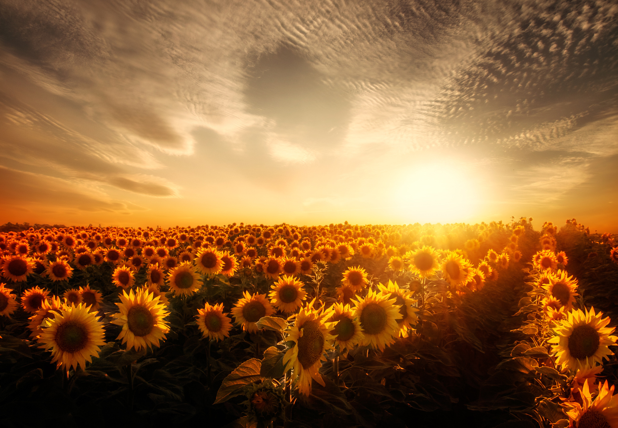 Sunflower Field HD Wallpaper