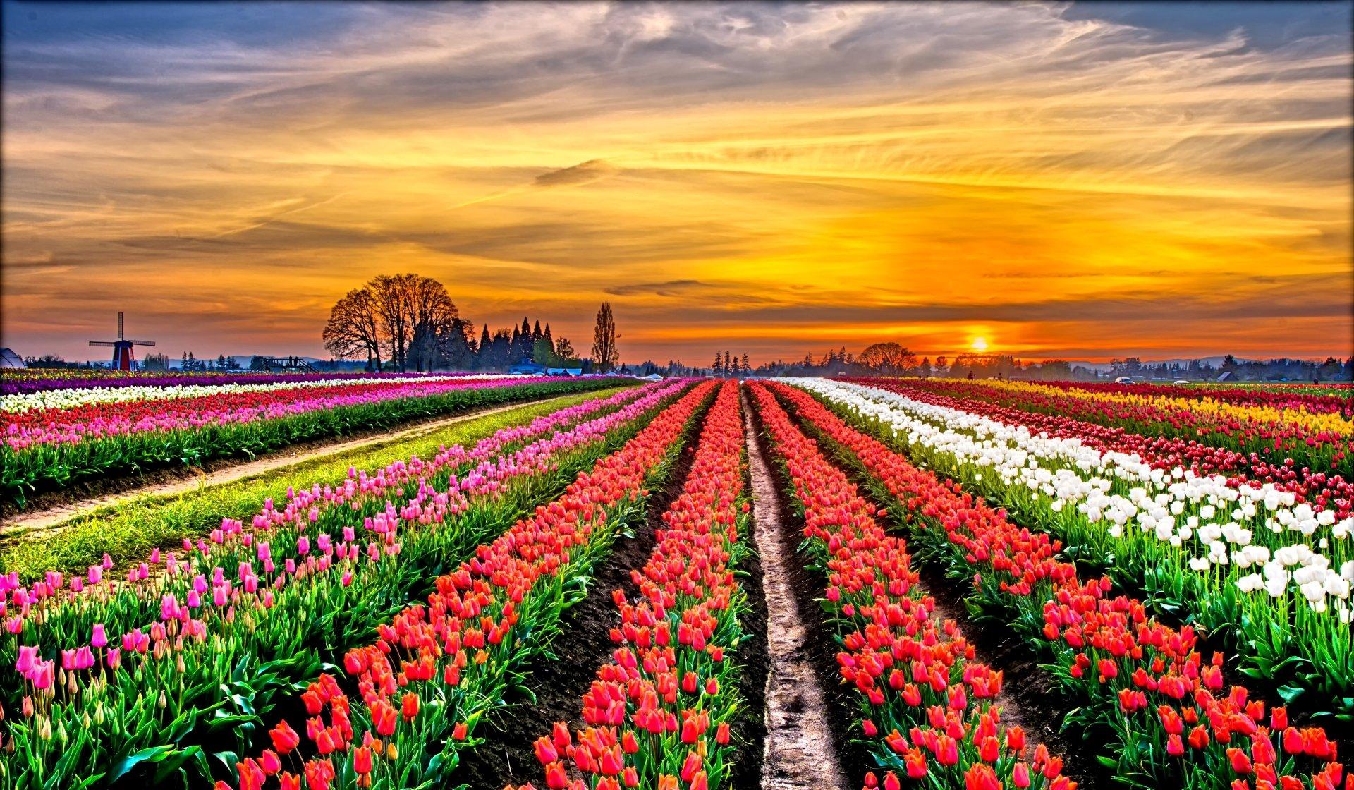 Spring Flowers Tulips Field Sunrise Grass Clouds: Tulip Field Sunset 5k Retina Ultra HD Wallpaper
