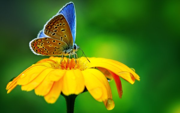 Animal Butterfly Insect Macro Flower Yellow Flower HD Wallpaper   Background Image