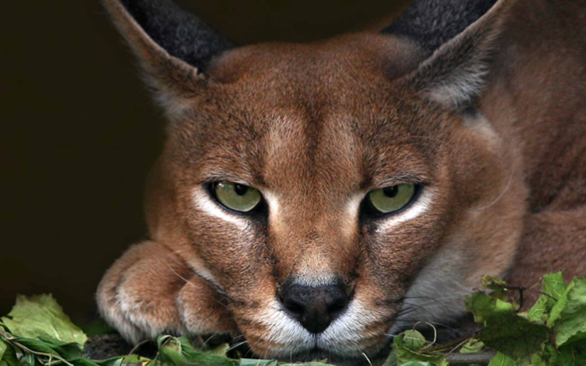 Caracal Close Up Hd Wallpaper Background Image 1920x1200 Id