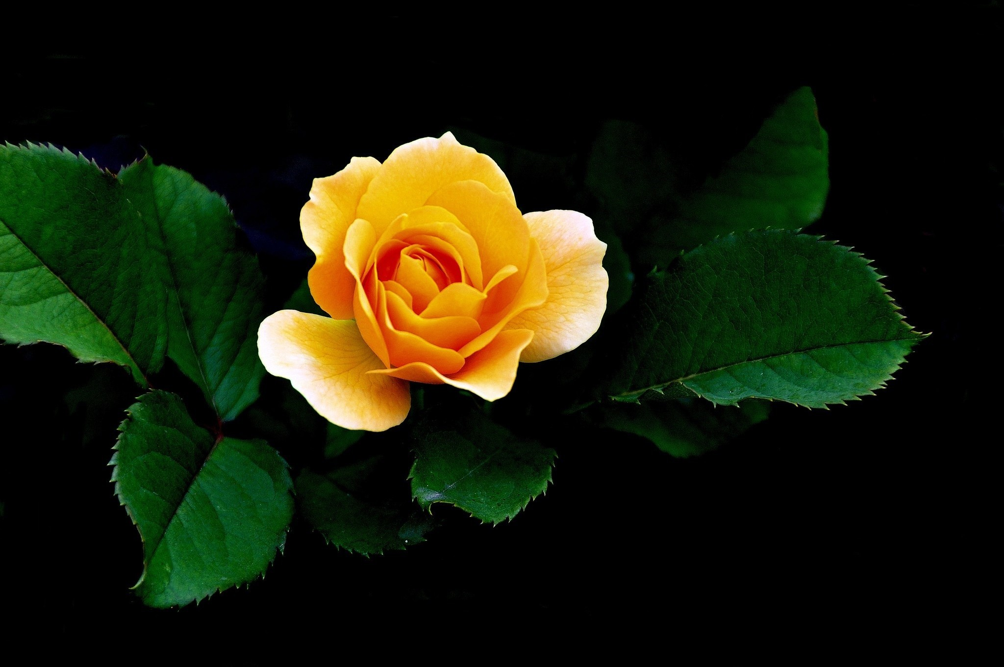 Lovely Yellow Rose HD Wallpaper | Background Image ...