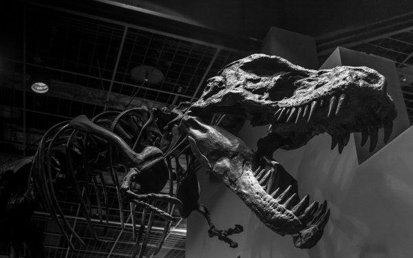 Animal Dinosaur Skeleton Tyrannosaurus Rex Museum Monochrome Black & White HD Wallpaper | Background Image