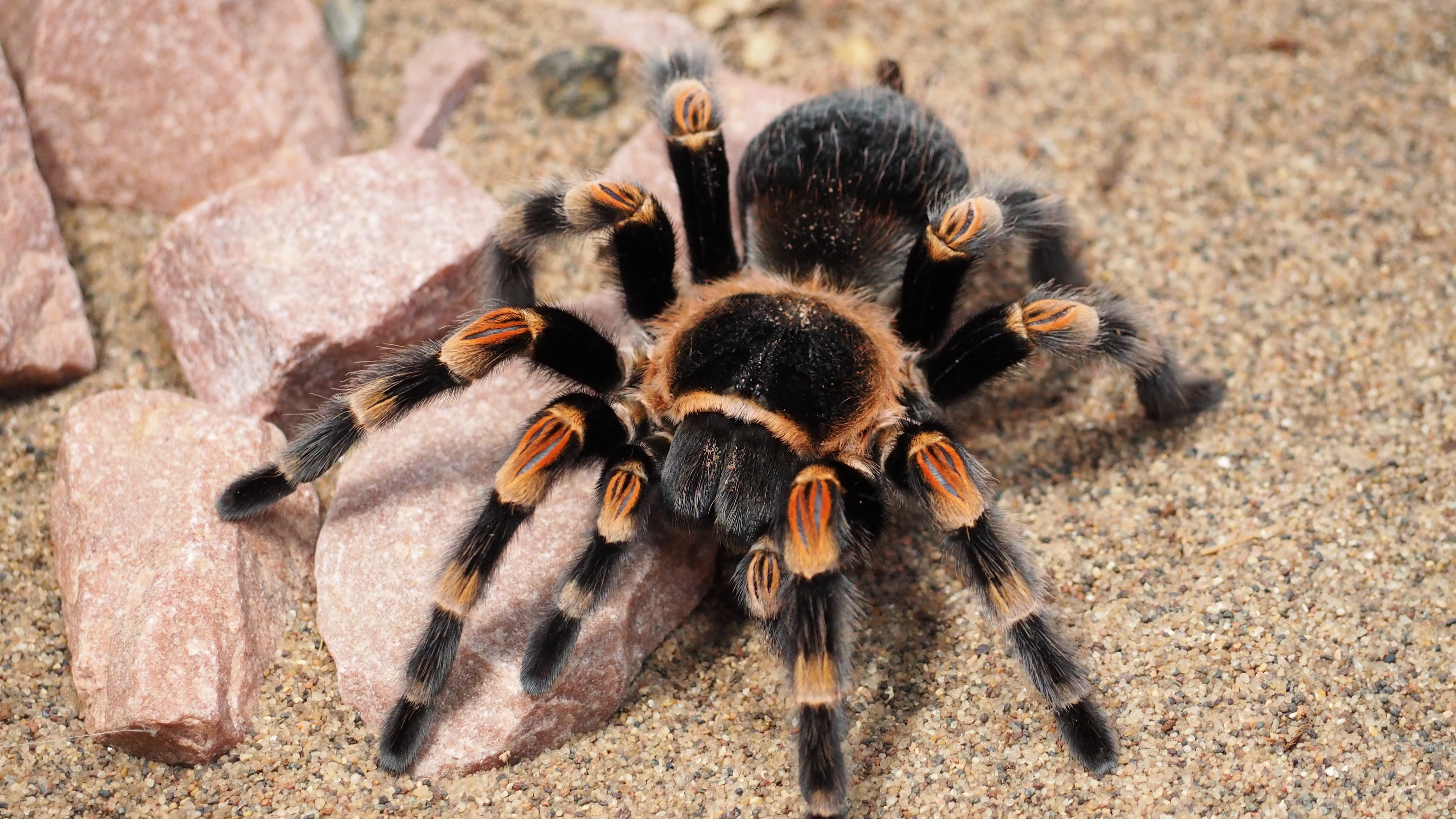 Image result for tarantula