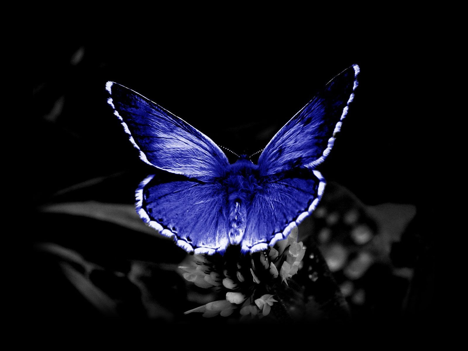 Blue Butterfly Wallpaper and Background Image   1600x1200 ...