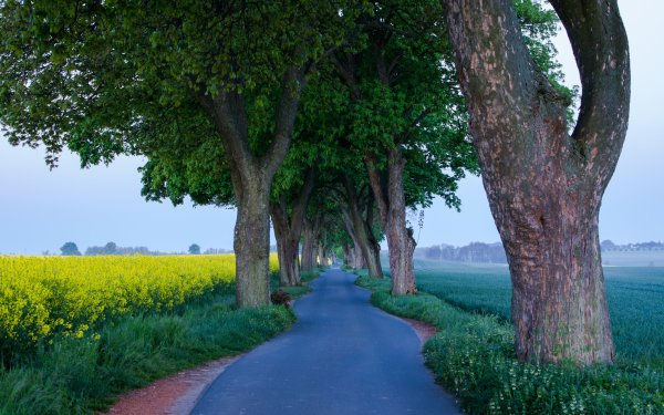 Man Made Road Tree-Lined Tree Field Rapeseed Yellow Flower HD Wallpaper   Background Image