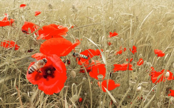 Earth Poppy Flowers Nature Flower Red Flower Bee Insect Field Summer HD Wallpaper   Background Image