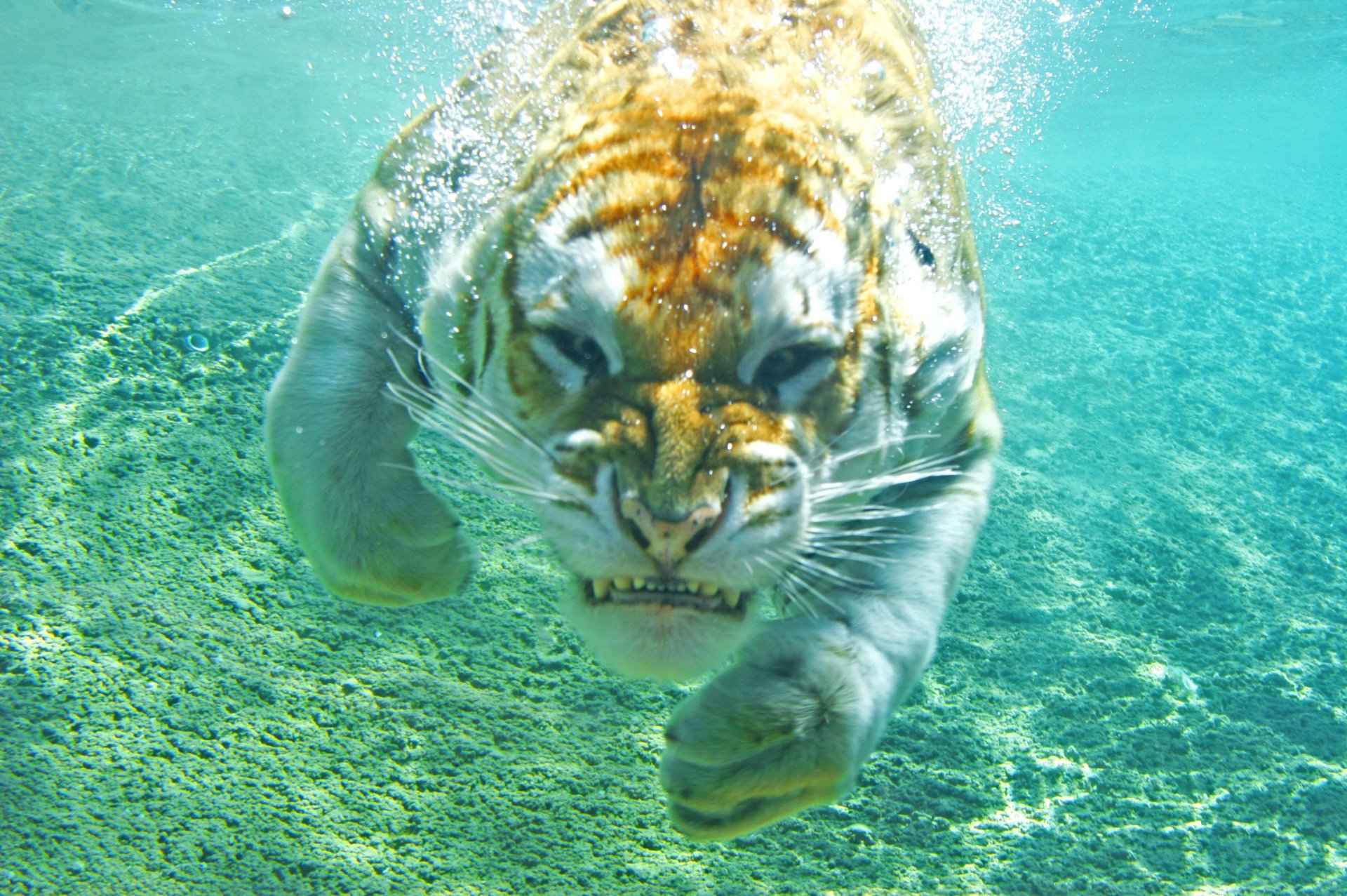 Animal - Tiger  Big Cat Swimming Underwater Wallpaper