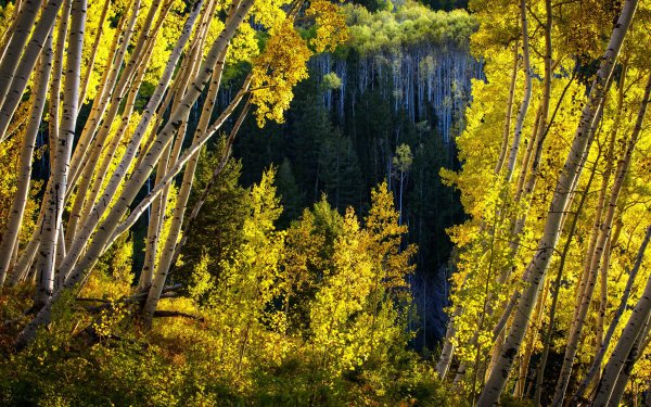 Earth Forest Tree Yellow Colorado Birch HD Wallpaper | Background Image