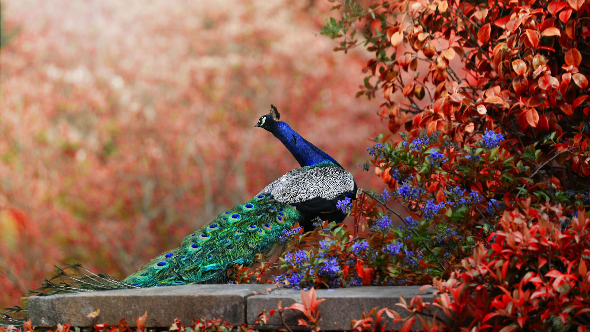 Peacock HD Wallpaper