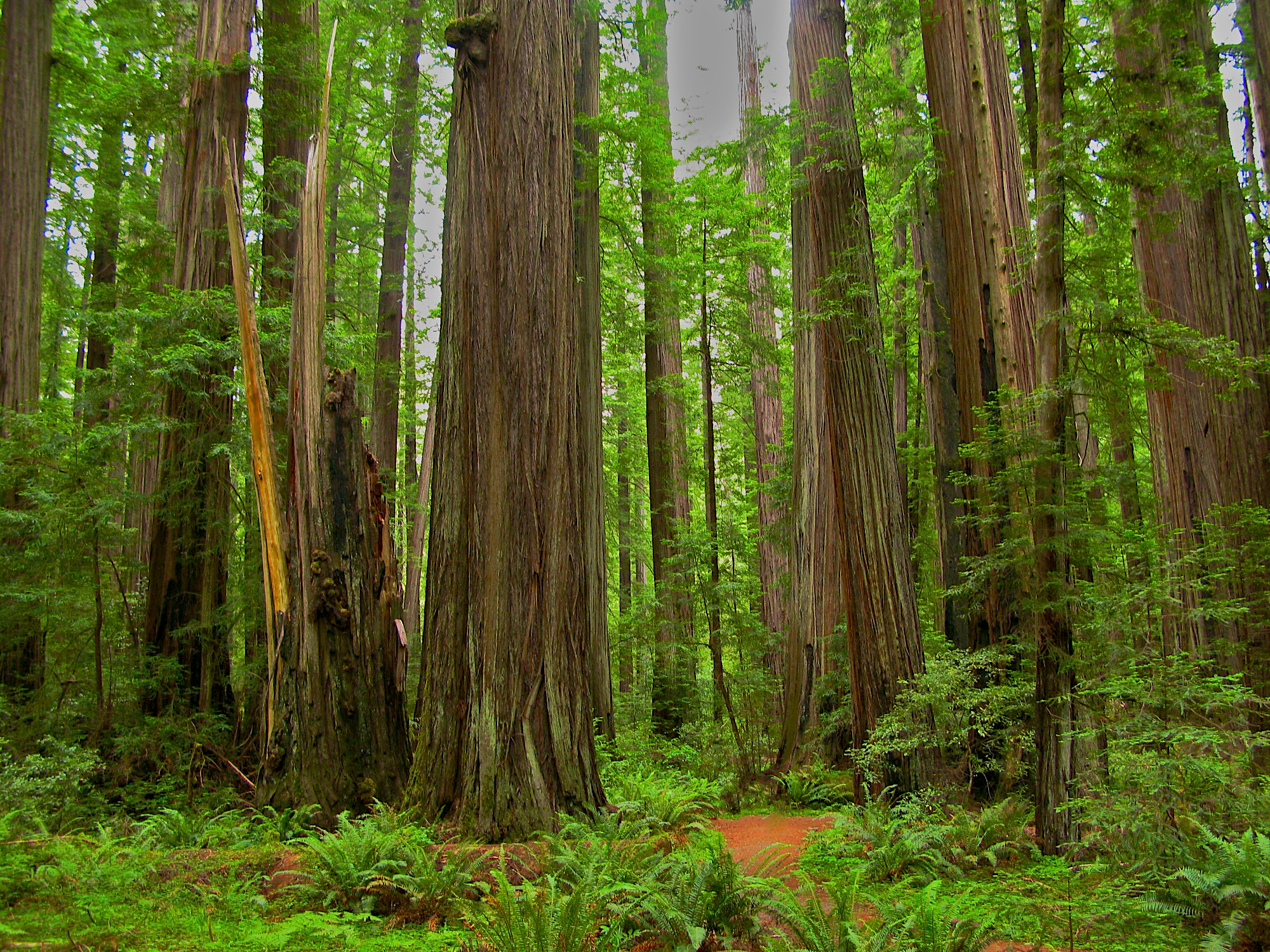 Redwood Forest HD Wallpaper | Background Image | 2000x1500 ...