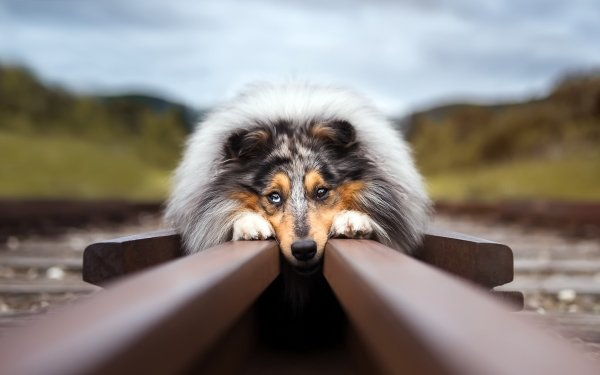 Animal Rough Collie Dogs Dog Railroad Blur HD Wallpaper   Background Image
