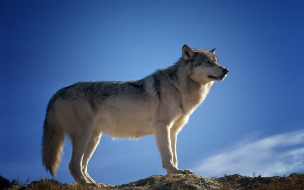 Animal Wolf Wildlife predator Mammal HD Wallpaper | Background Image