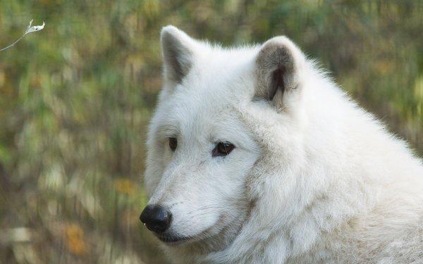 Animal Wolf White Wolf Bokeh predator Wildlife HD Wallpaper   Background Image