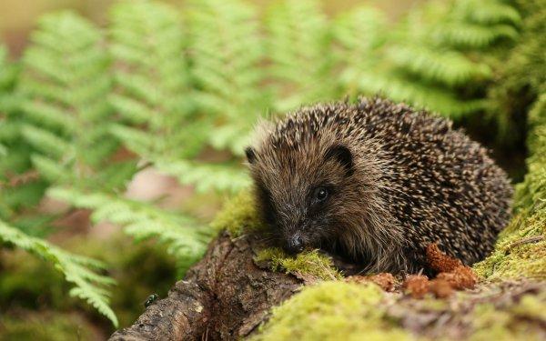 Animal Hedgehog HD Wallpaper   Background Image