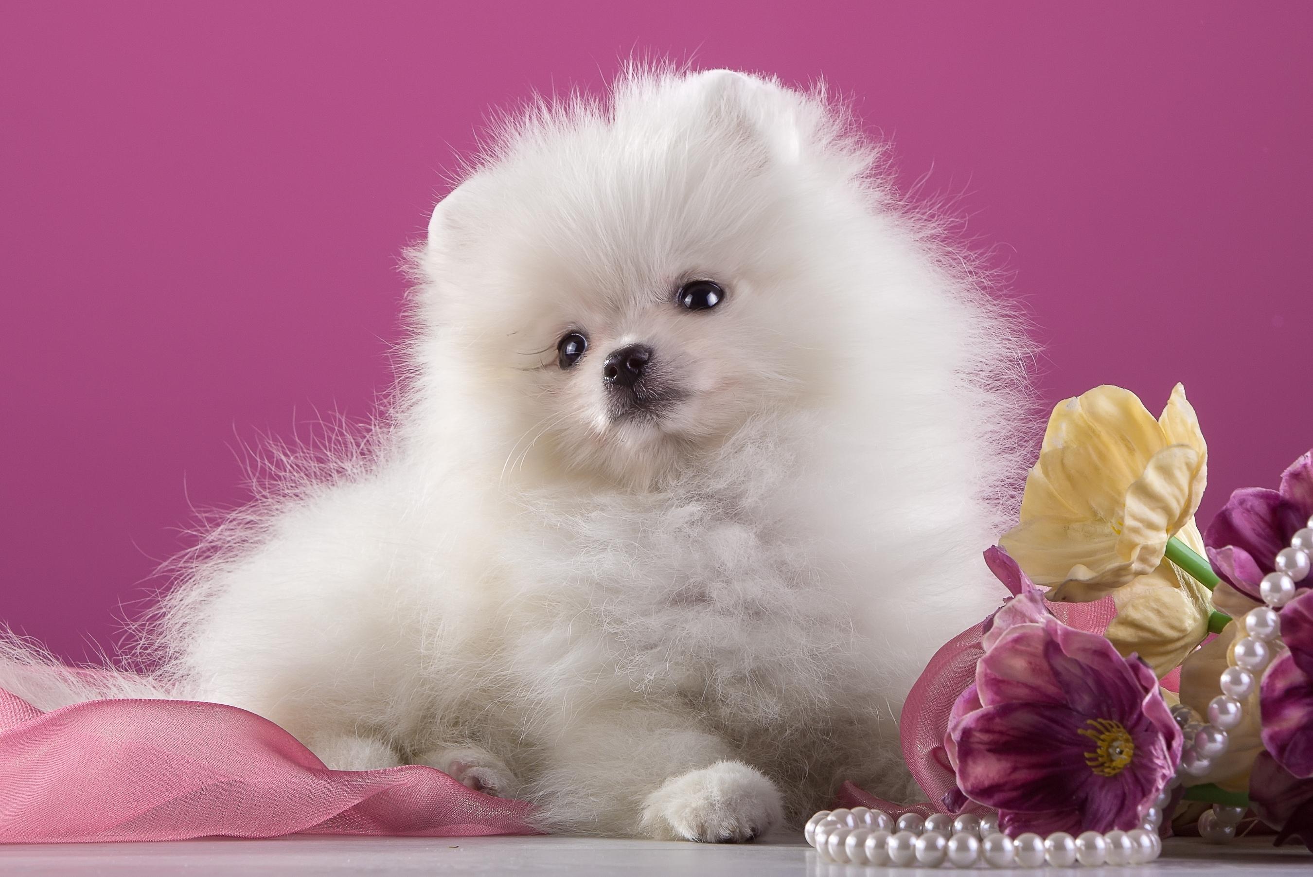 White Pomeranian Puppy Hd Wallpaper Background Image 2700x1803 Id 738239 Wallpaper Abyss