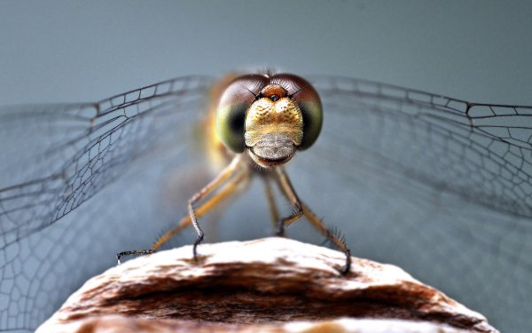 Animal Fly Macro Insect HD Wallpaper | Background Image