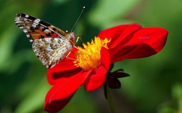 Animal Butterfly Insect Flower Red Flower Dahlia HD Wallpaper | Background Image