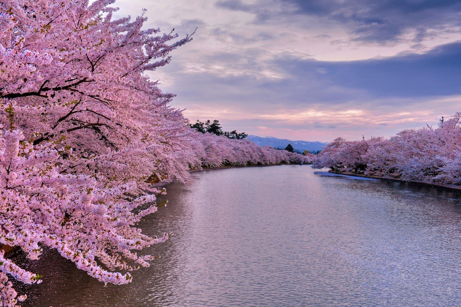 Cherry trees along the river hd wallpaper background for Immagini sfondo desktop primavera