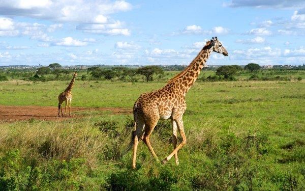 Animal Giraffe Landscape Wildlife Mammal Africa HD Wallpaper   Background Image