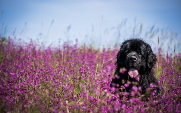 Animal Newfoundland Dogs Dog Meadow Flower Purple Flower Muzzle HD Wallpaper | Background Image