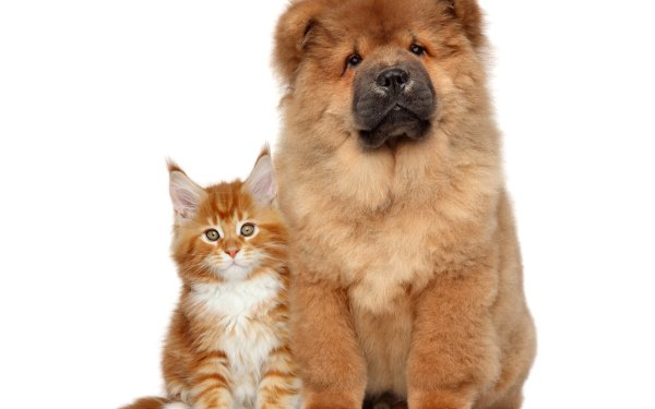Animal Cat & Dog Cat Chow Chow Dog HD Wallpaper | Background Image