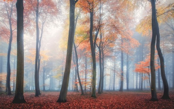 Earth Forest Nature Tree Fall Fog HD Wallpaper | Background Image