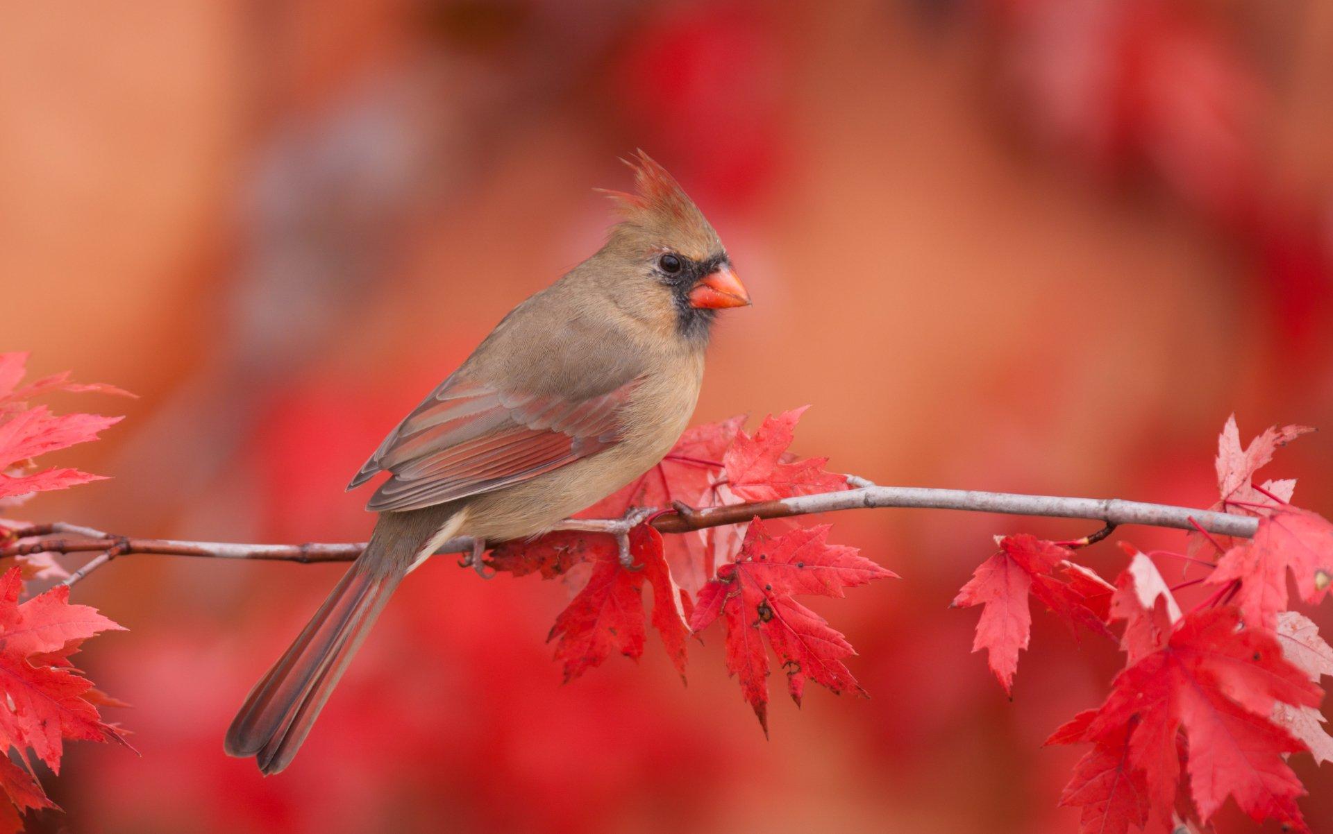 Female Northern Cardinal 4k Ultra HD Wallpaper