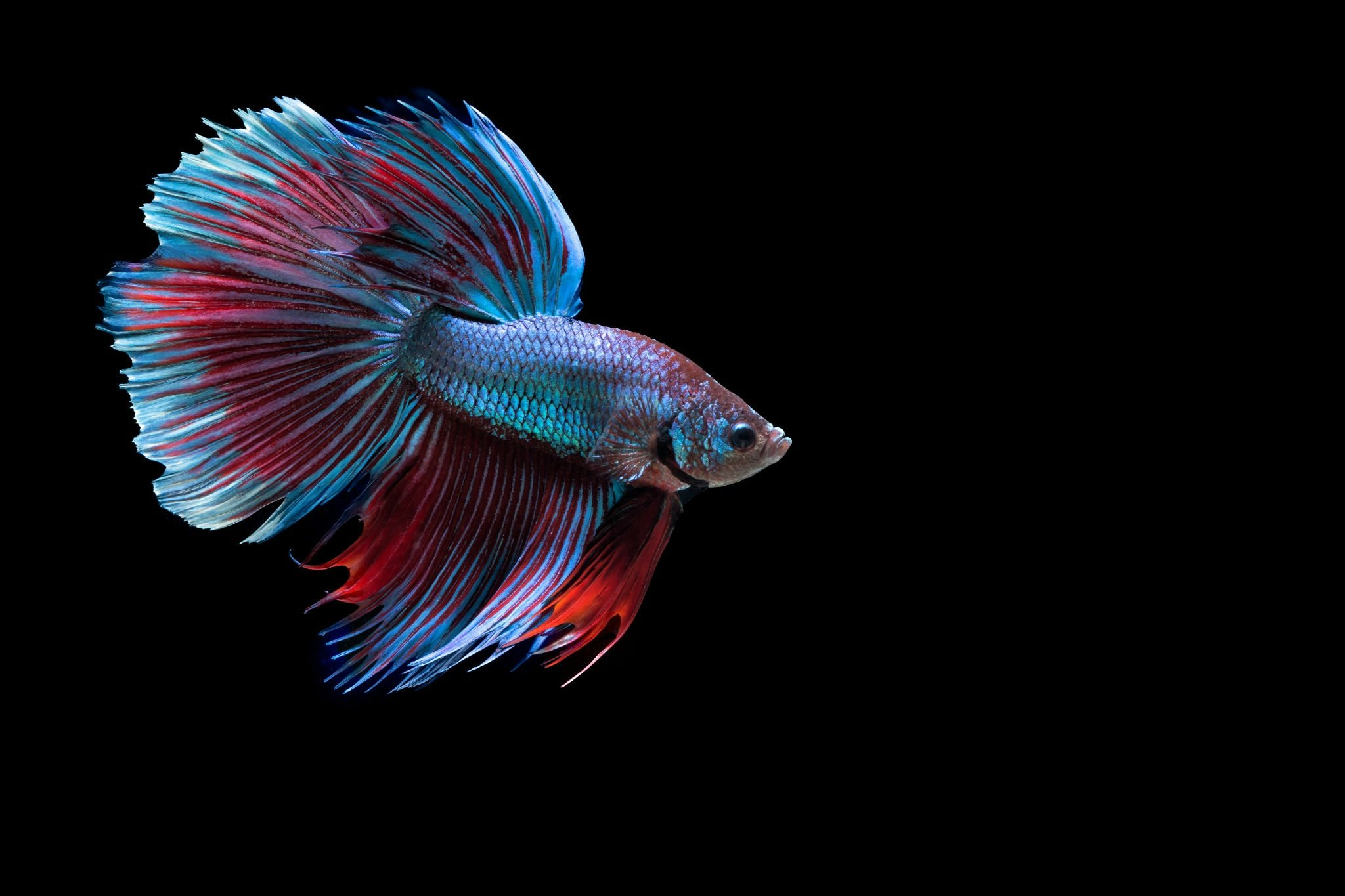20 siamese fighting fish hd wallpapers background imagessiamese fighting fish · hd wallpaper background image id 771968